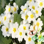 تولید گل پامچال