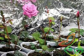 قیمت نهال ریشه دار گل محمدی