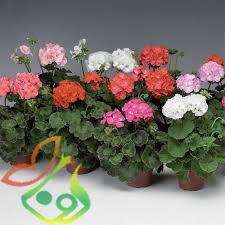 خرید پستی بذر گل شمعدانی