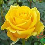 قیمت انواع گل رز