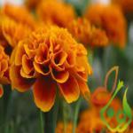 فروش بذر گل همیشه بهار