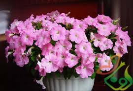 بذر گل فصلی اطلسی