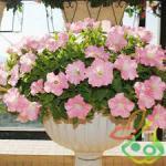 بذر گل زینتی اطلسی
