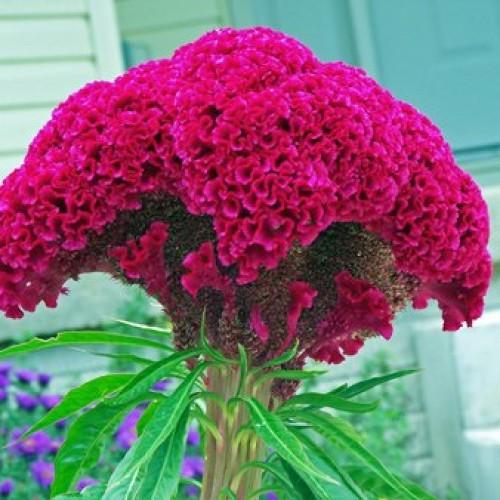 انواع گل تاج خروسی