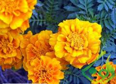 قیمت خرید بذر گل همیشه بهار
