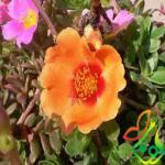 پخش گل زینتی