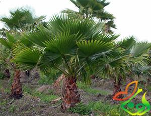 درخت پالم بادبزنی