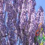 نگهداری درخت زینتی پالونیا