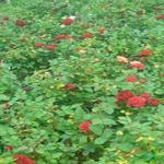 گل ساناز رونده