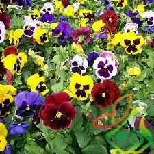 انواع گل فصلی بنفشه