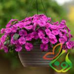 گل حنا گلدانی