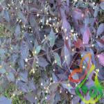 انواع گل فصلی آشلانتوس