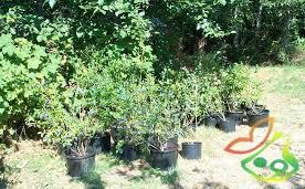 نهال درخت بلوبری گلدانی