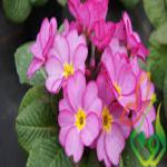 گل پامچال گلدانی