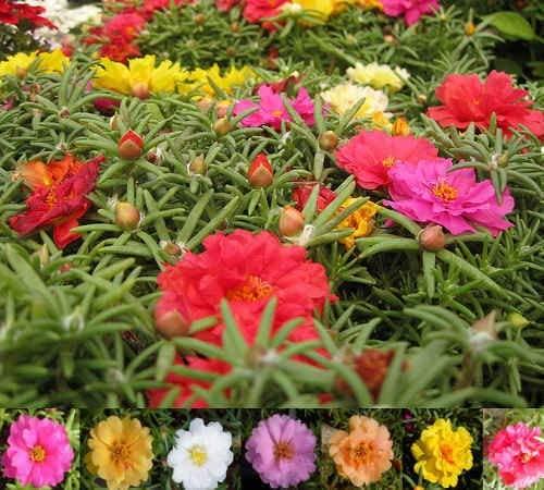قیمت گل زینتی