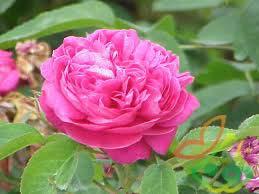 سفارش نهال گل محمدی