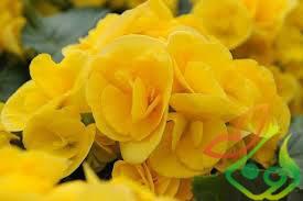 انواع گل بگونیا