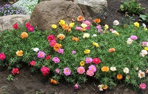 گل زینتی ناز آفتابی