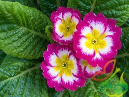 خرید بذر گل پامچال