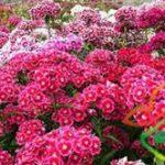 انواع گل میخک