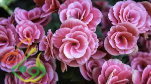 گل زینتی بگونیا