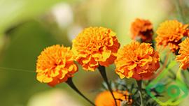 پخش گل فصلی همیشه بهار