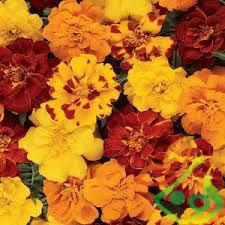 خرید گل همیشه بهار
