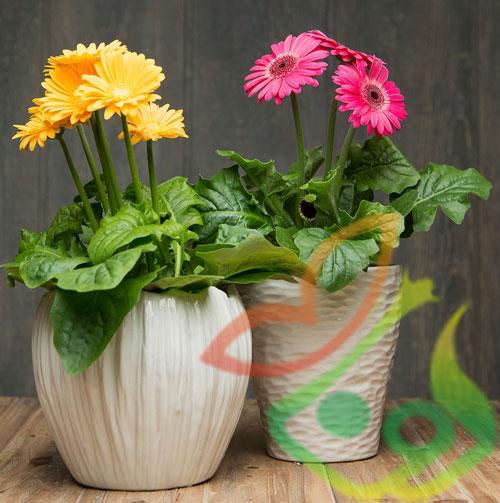 خرید گل ژربرا گلدانی