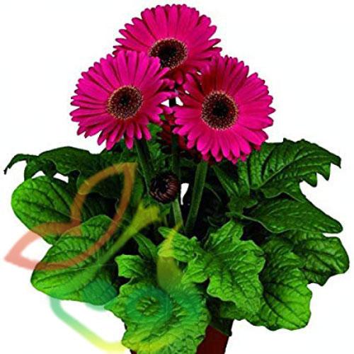 گل ژربرا گلدانی