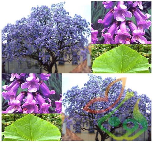 مصارف درخت پالونیا