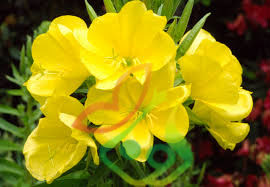 قیمت گل پامچال