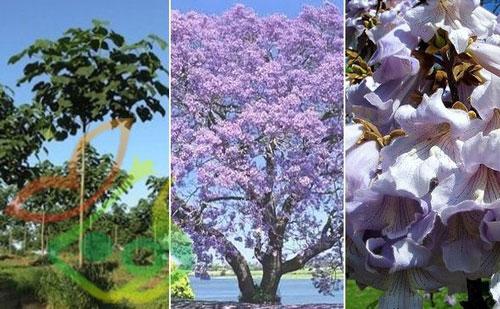 نگهداری درخت پالونیا