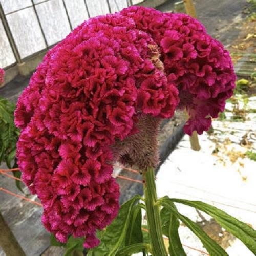 فروش گل تاج خروس