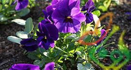 بذر گل فصلی بنفشه