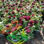 قیمت انواع گل رز گلدانی