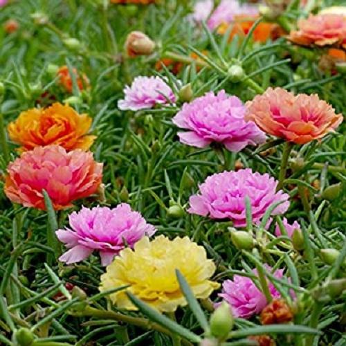 گیاه گل ناز آفتابی