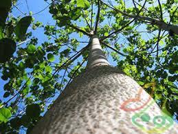 قیمت روز درخت پالونیا