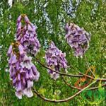 قیمت عمده نهال درخت پالونیا