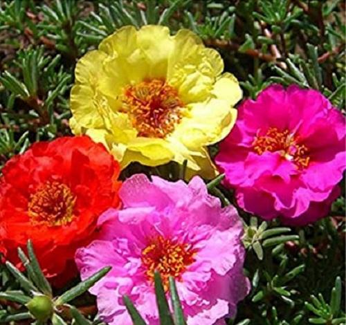 فروش گل ناز آفتابی