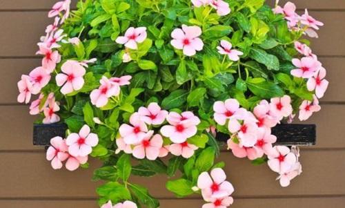 فروش گل حنا