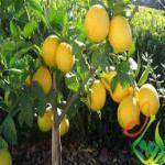درخت لیمو ترش چهار فصل