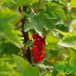 درخت میوه انگور فرنگی