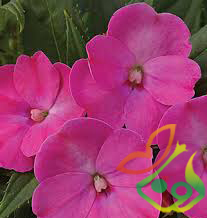 بذر گل حنا