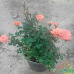 پرورش گل رز ساناز