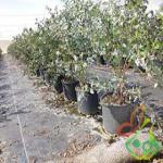 قیمت درخت بلوبری