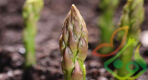 خواص گیاه مارچوبه