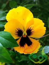 سفارش گل بنفشه اف1