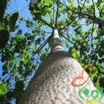 خرید فروش درخت پالونیا