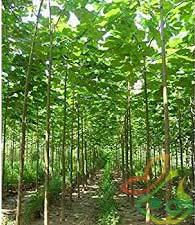 تولید عمده نهال پالونیا