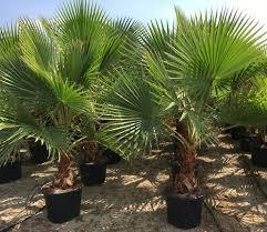 قیمت خرید درخت پالم